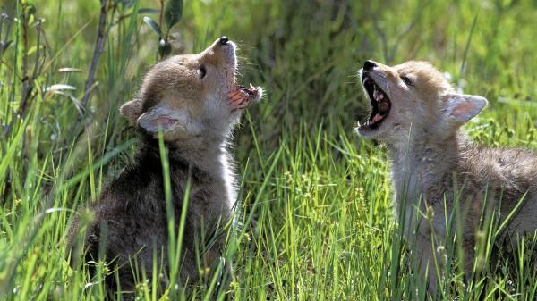 Wolf Cubs