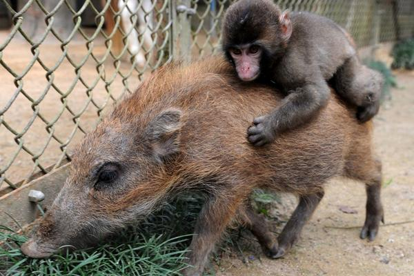 Boar and Macaque